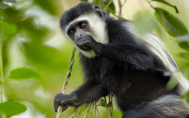 Singe Colobus Arusha national park, Tanzanie