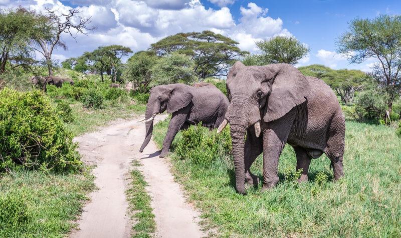 Eléphants qui traversent la route vers le lac manyara