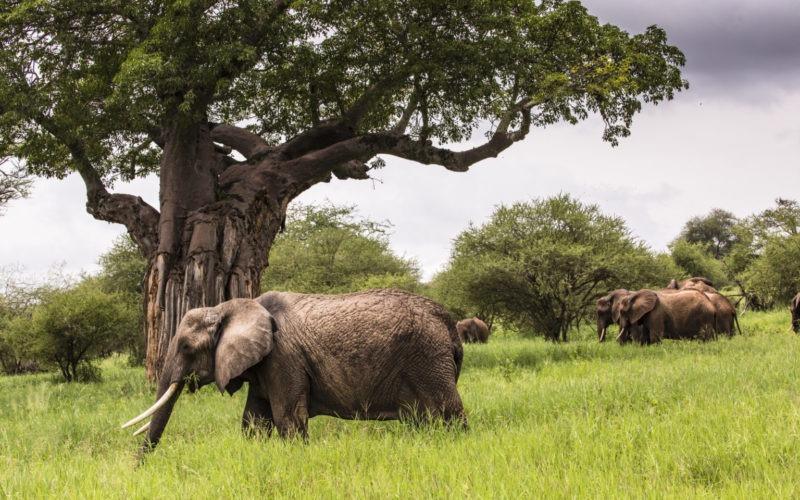 Groupe d'Éléphants Tarangire
