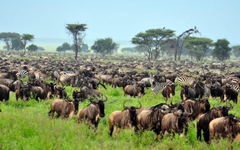 La grande migration au Serengeti national park