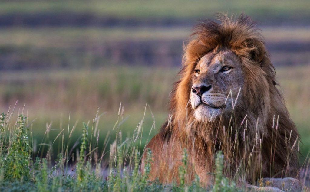 Lion saison des pluies Tanzanie Serengeti
